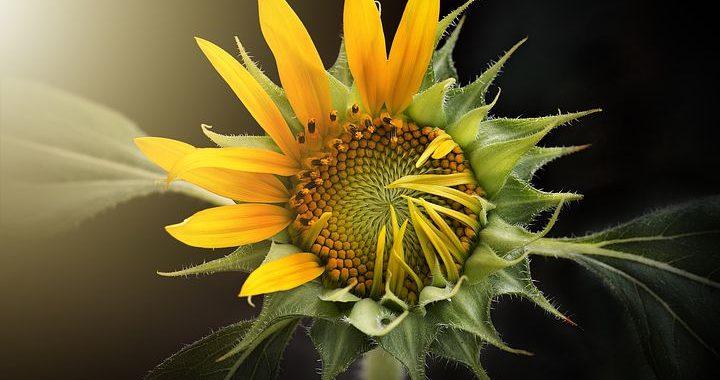 Gedanken zur Sonnenblume